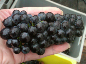Millerandage clusters at Domaine Perrot-Minot
