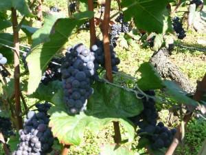 Mortet's Grapes